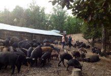 Ελληνίδες παράγουν σακχαροκάλαμο και λειτουργούν φάρμα παραγωγής ελληνικού μαύρου χοίρου