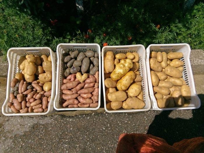 παράγει άνυδρη και ξερική πατάτα.