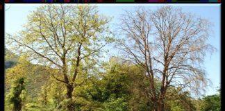 Απειλούνται τα πλατάνια του Δήμου Τρικκαίων