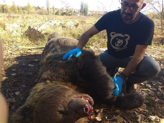 Αρκούδα 390 κιλών σκοτώθηκε σε τροχαίο ατύχημα κοντά στην Καστοριά