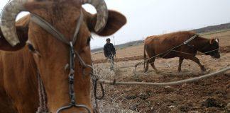 Aρχαία βοοειδή: Από υποζύγια σε γευστική απόλαυση ακριβών ξενοδοχείων