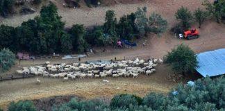 Θεσσαλία: Απογραφή ζωικού κεφαλαίου εκμεταλλεύσεων αιγοπροβάτων και χοίρων από 1/11 έως 15/12