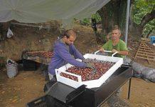 Ικανοποίηση από την πρώτη εξαγωγή του κάστανου στην Ιταλία επικρατεί στον νεοσύστατο Αγροτικό Συνεταιρισμό Αμπελακίων και στη δραστήρια Ομάδα Παραγωγών.