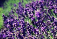 lavanda-astheneies