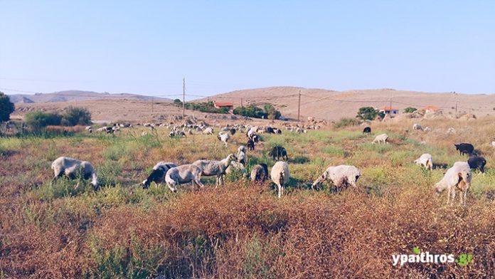 τα στέμφυλα ενισχύουν την αντιοξειδωτική άμυνα των παραγωγικών ζώων και μειώνουν την ανάπτυξη παθογόνων οργανισμών κατά 30% στην εντερική τους χλωρίδα.