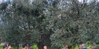 Μεσσηνία: Ανοικτή διημερίδα για τον εορτασμό της «Παγκόσμιας ημέρας ελιάς και ελαιόλαδου»
