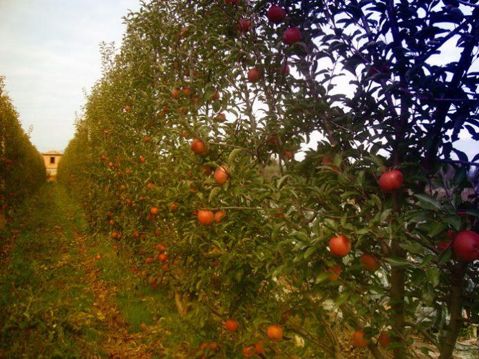 Μήλα Ντελίσιους Πιλαφά Τριπόλεως