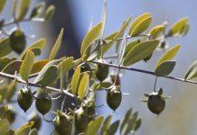 Παλαιστίνη: Το δέντρο jojoba από τις ΗΠΑ ευδοκιμεί στη Λωρίδα της Γάζας