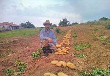 patata-agrotis-ileia
