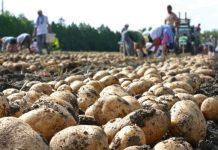 patata-kalliergia-se-xorafi