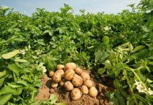 patatosporos-patata