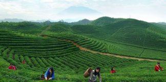 Κίνα: Τα 2,8 εκατ. τόνους θα φθάσει φέτος η παραγωγή τσαγιού