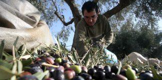 τιμής φέτος για τις ελιές Καλαμών