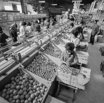 Εργάτριες σε εργοστάσιο εσπεριδοειδών, 1963.