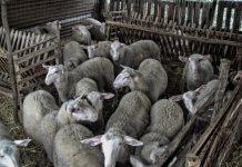 Σφαγή ζώων στη Μεσσαρά από ασυνείδητο δράστη