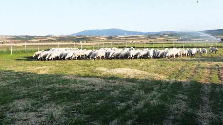 Ο μέσος όρος στις γέννες φτάνει τα 2,8 αρνιά ανά προβατίνα.