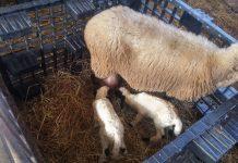 Διατροφή αιγοπροβάτων πριν και μετά τη γέννα
