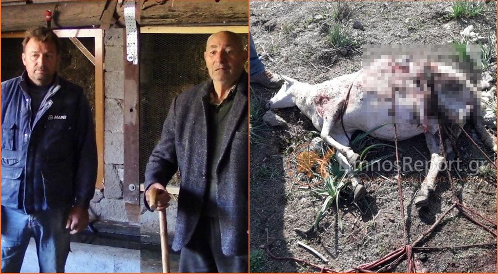 Πρωτοφανές: Ελάφια επιτέθηκαν σε πρόβατα στη Λήμνο (βίντεο-φωτο)