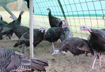 turkey-galopoula-ektrofi