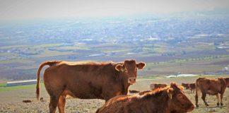 Κατηγορίες βοειδών ανά περιφέρεια