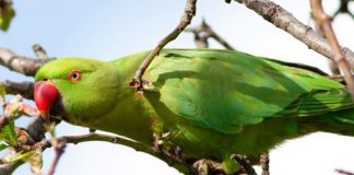 Αύξηση των παπαγάλων στα πάρκα της Αθήνας