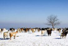 Διατροφή αιγοπροβάτων σε χαμηλές θερμοκρασίες
