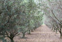 Ημερίδα για τη θρέψη και τη λίπανση της ελιάς στις 9 Απριλίου στη Χαλκιδική