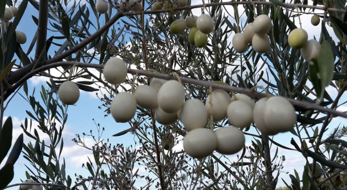 Λευκές ελιές: Μια σπάνια ποικιλία ελιάς με καταγωγή από τα αρχαία χρόνια