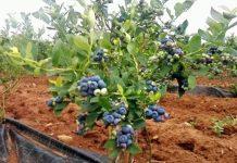 δυνατότηταένταξης των λεγόμενων προωθούμενων καλλιεργειών, όπως μύρτιλα