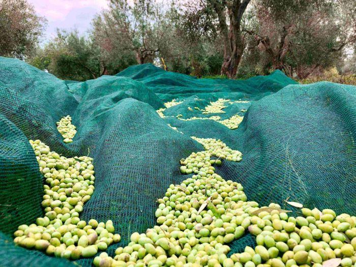 olives-crop-cretanthos