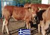 Σε πρόγραμμα για τη διάσωση της Ελληνικής Κόκκινης Φυλής Βοοειδών η ΕΑΣΘ