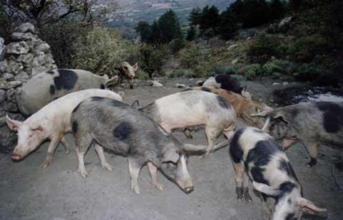 the_pig_farm