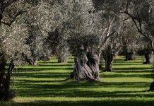 Θεσσαλονίκη: Δεκάδες υπεραιωνόβιες ελιές από το Αίγιο, θα φυτευτούν στο Πάρκο Μνήμης