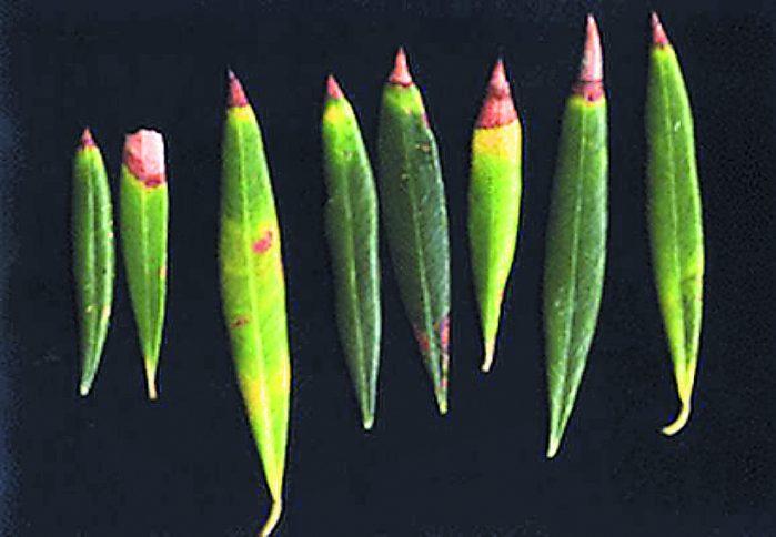Τροφοπενία Βορίου σε Φύλλα Ελιάς 1