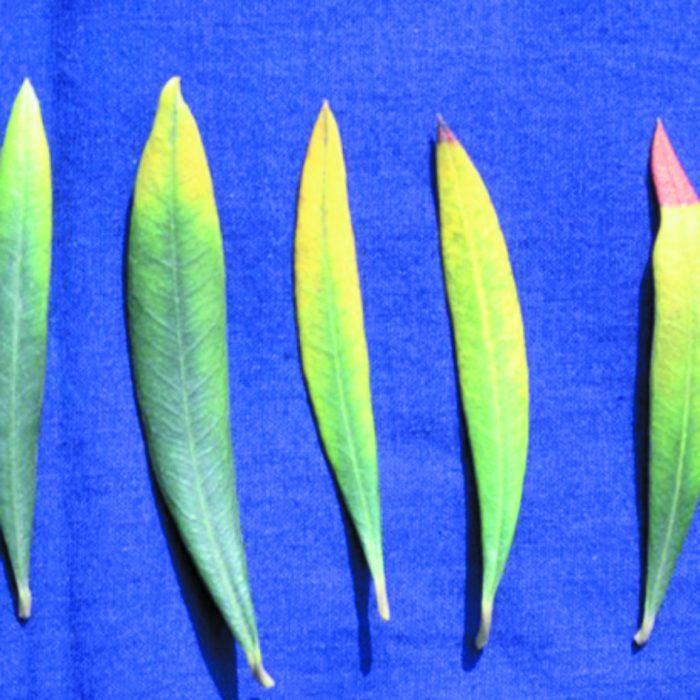 Τροφοπενία Καλίου σε Φύλλα Ελιάς