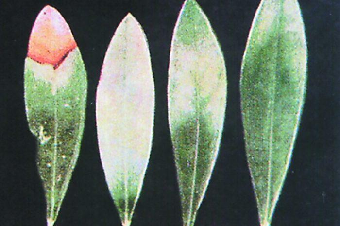 Τροφοπενία Μαγνησίου σε Φύλλα Ελιάς