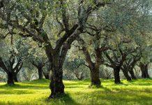 CLIMATREE: Οι δενδρώδεις καλλιέργειες στη μάχη κατά της κλιματικής αλλαγής