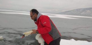 Εγκλωβισμένα πουλιά στην παγωμένη λίμνη της Καστοριάς σώζουν εθελοντές