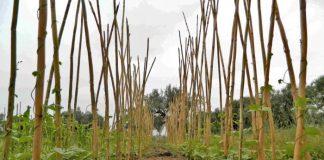 σε λίγες ημέρες ξεκινά η σπορά του φασολιού ποικιλίας starazagorski (κοντό τύπου μπαρμπούνι