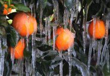 Ηλεία: Ολοκληρωτική καταστροφή στο πορτοκάλι