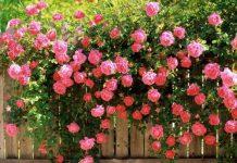 Αφήνουν όλα τα τριαντάφυλλα να ανθίσουν στην ορεινή Ροδόπη