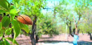 Διέξοδος στην περίοδο της κρίσης η αμυγδαλιά, η καρυδιά, η καστανιά και η φυστικιά