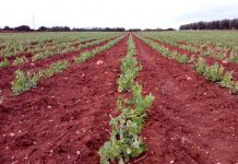Βιολογικός αρακάς και συμβολαιακή γεωργία