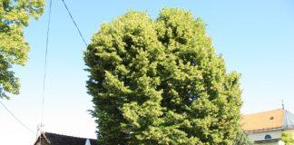 """Φλαμουριά 500 ετών και βελανιδιά 300 ετών διεκδικούν τον τίτλο του """"Ευρωπαϊκού Δέντρου 2019"""""""