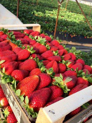 Η καλλιέργεια φράουλας θέλει τον ήλιο