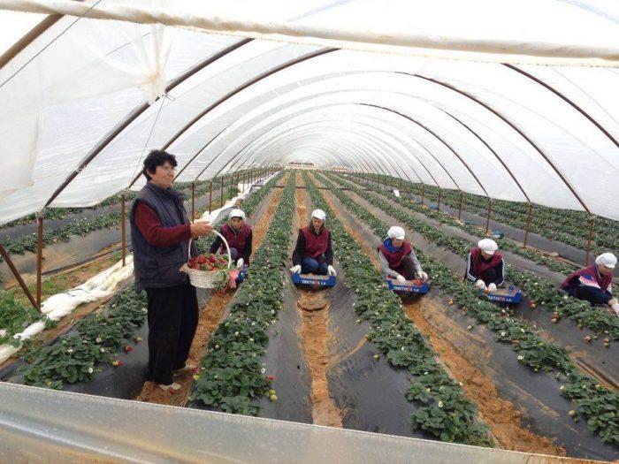 Στους νομούς Ηλείας και Αχαΐας παράγεται το 99% της φράουλας.