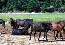 Νεκρά άλογα από πυροβολισμό με κυνηγετικό όπλο στο Καρβουνάρι Θεσπρωτίας