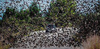 Σμήνη από αγριοπούλια κατέλαβαν δρόμο στην Αταλάντη