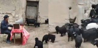 Κινέζος κτηνοτρόφος κάνει «συνέλευση» με τις κατσίκες του για να αυξηθούν τα κέρδη του (βίντεο)