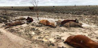 Αυστραλία: Εκατοντάδες χιλιάδες βοοειδή νεκρά από τις πλημμύρες - Σχεδιάζουν τη ρίψη ζωοτροφών από αέρα